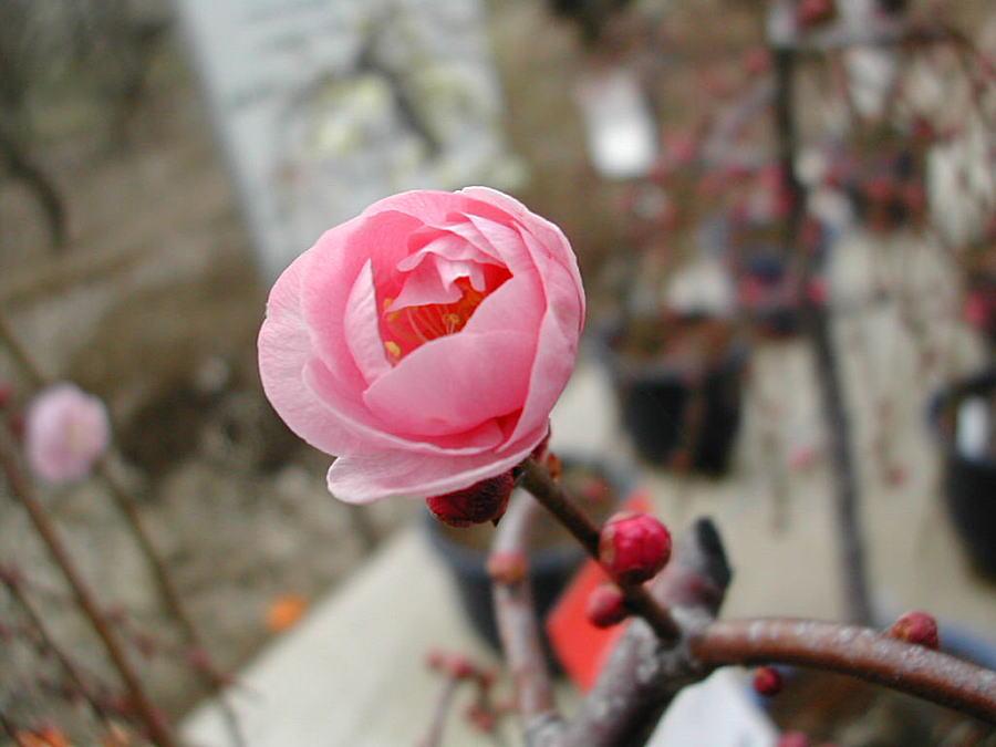 春告草(はるつげぐさ)春先に咲...